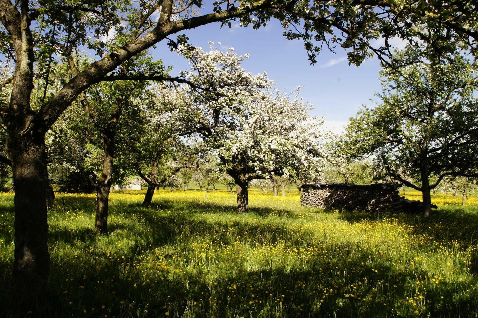 Streoobstwiese mit blühenden Apfelbäumen