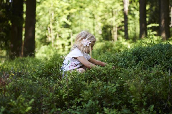 Blond little girl picking fresh berries on blueberry field in forest.