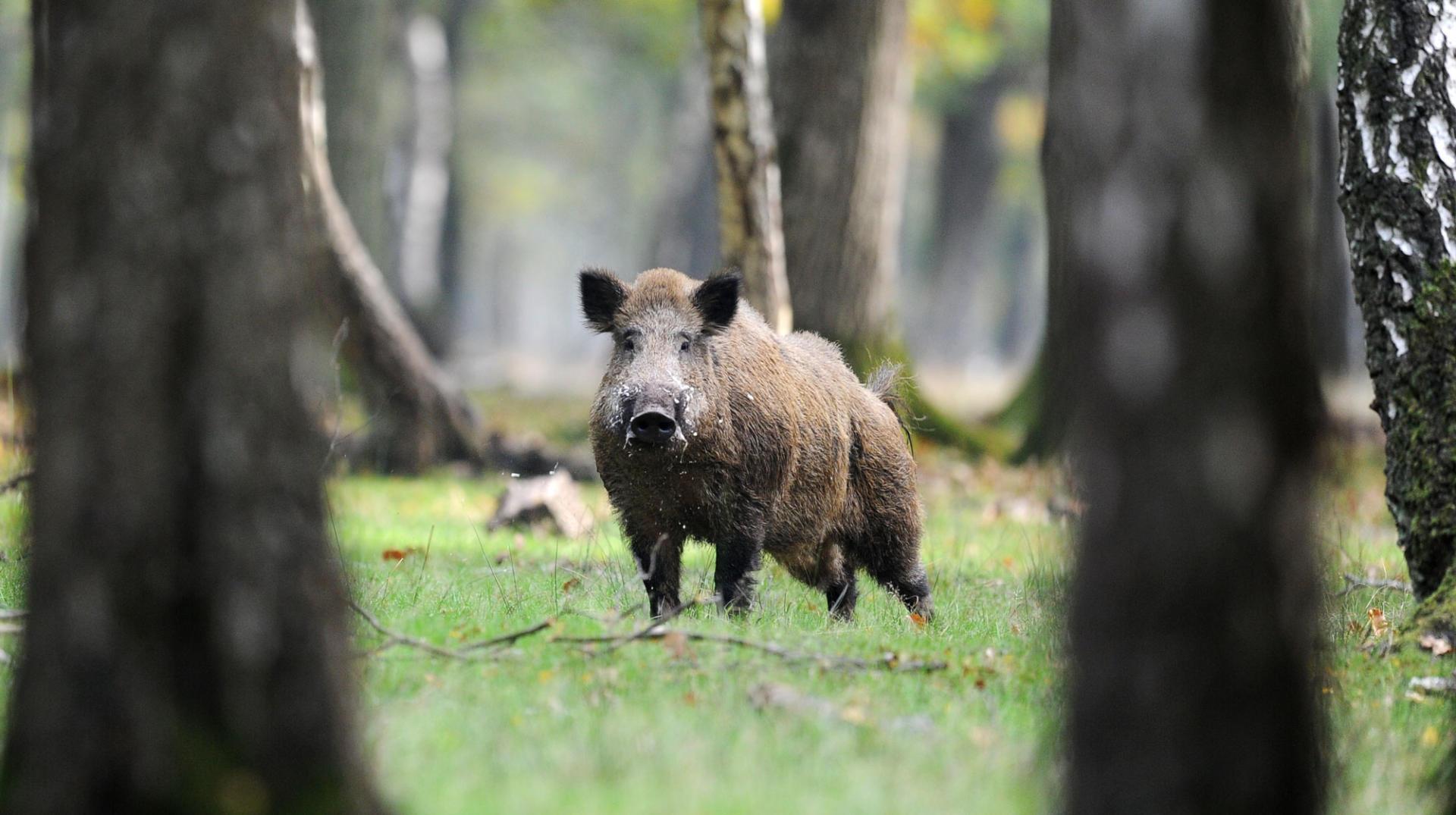 Wildschwein zwischen Bäumen im Wald