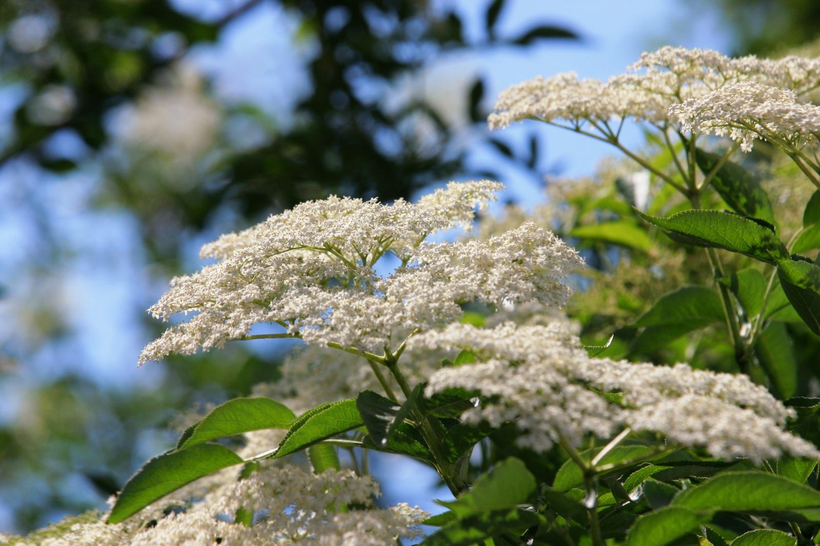 Blüte des schwarzen Holunders