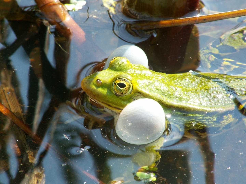 Quakendes Männchen des Kleinen Wasserfrosches