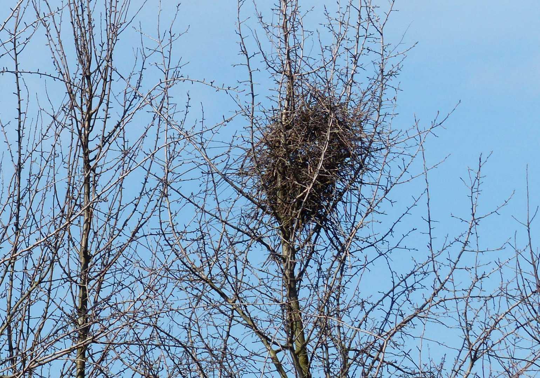 Vogelnest einer Elster in einem Baum
