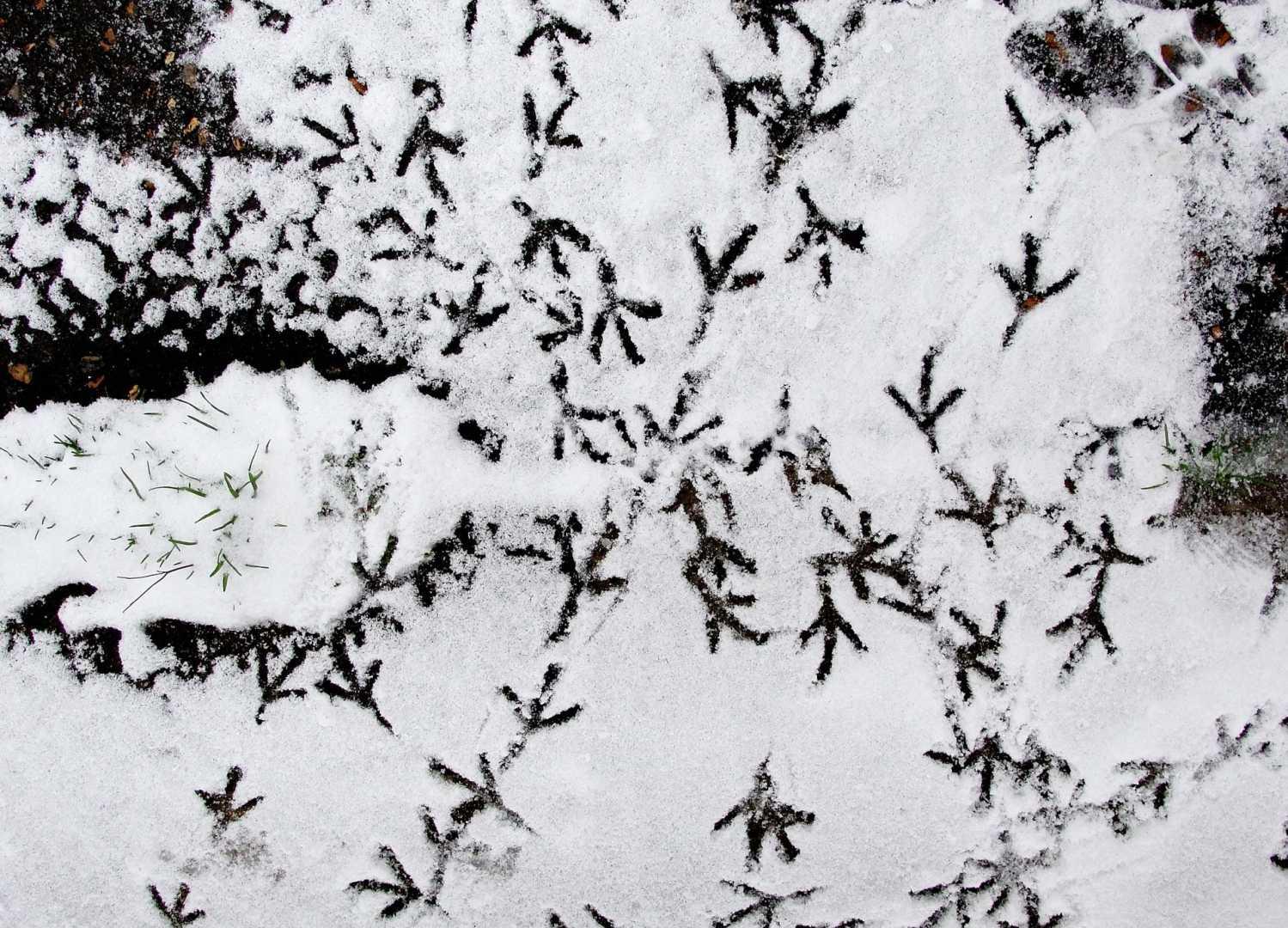 Spuren einer Taube im Schnee